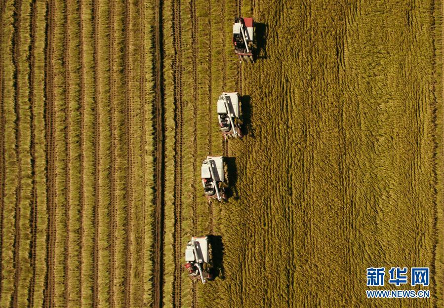 在吉林省吉林市萬昌鎮,農民在張楠楠成立的家庭農場的稻田間駕駛收割機收割水稻(9月18日攝)。 新華社記者 許暢 攝