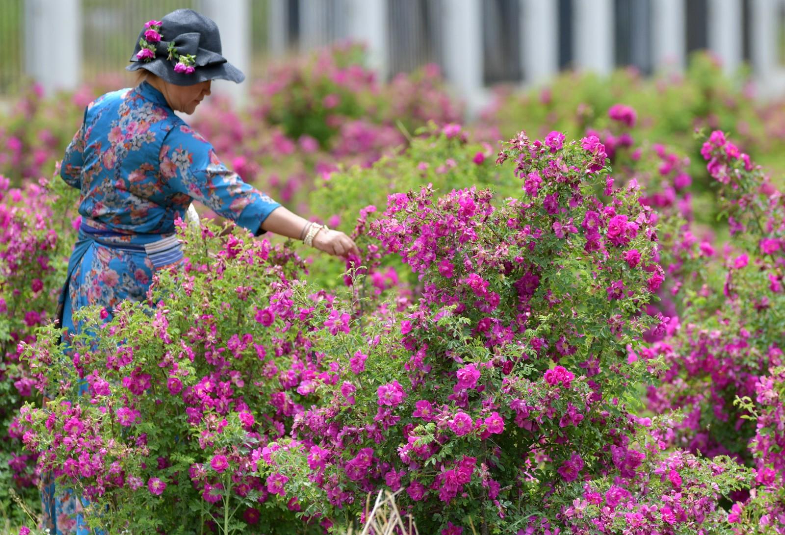 高原玫瑰芬芳四溢迎宾客     一名游客在拉萨市达孜区现代农业产业园玫瑰种植基地采摘玫瑰(6月9日摄)。     近日,在西藏拉萨市达孜区现代农业产业园,由西藏玫瑰生物科技发展有限公司种植的200亩玫瑰盛开,吸引众多游客前来观赏采摘。     新华社记者 张汝锋 摄
