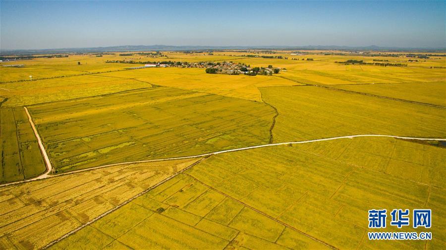 在吉林省吉林市萬昌鎮拍攝的張楠楠成立的家庭農場的稻田(9月18日攝)。 新華社記者 許暢 攝