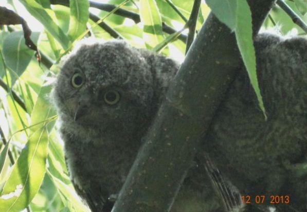 东方角鸮宝宝--雷宏摄